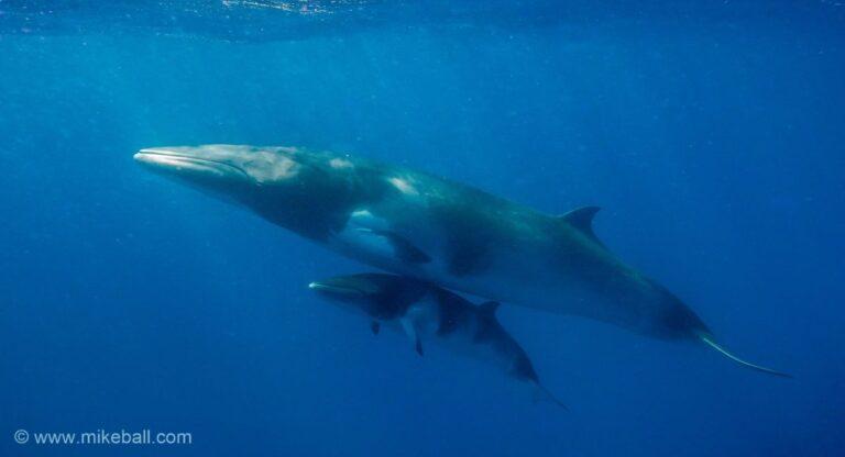 4 Night Fly Dive Minke Whales