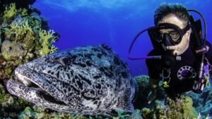 Cod Hole - Ribbon Reefs - GBR